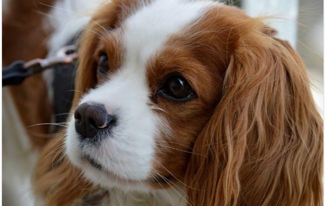 Наймиліший конкурс: у Києві проходить міжнародна виставка собак
