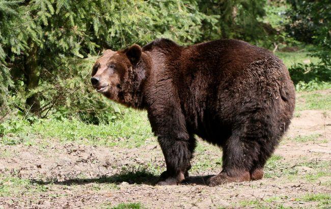 Возле Ивано-Франковска голодный медведь терроризирует местных жителей:ученые бьют тревогу