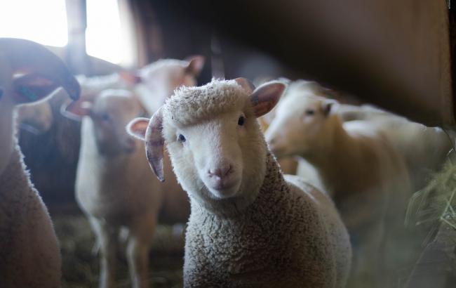 """Результат пошуку зображень за запитом """"вівці на засніженому полі"""""""