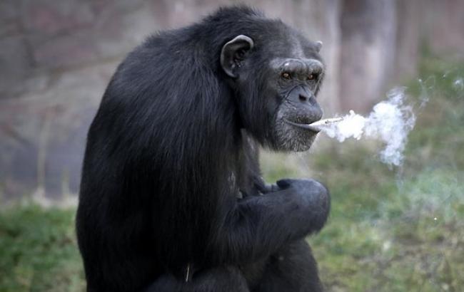 Взоопарке Пхеньяна гостей веселит курящая шимпанзе