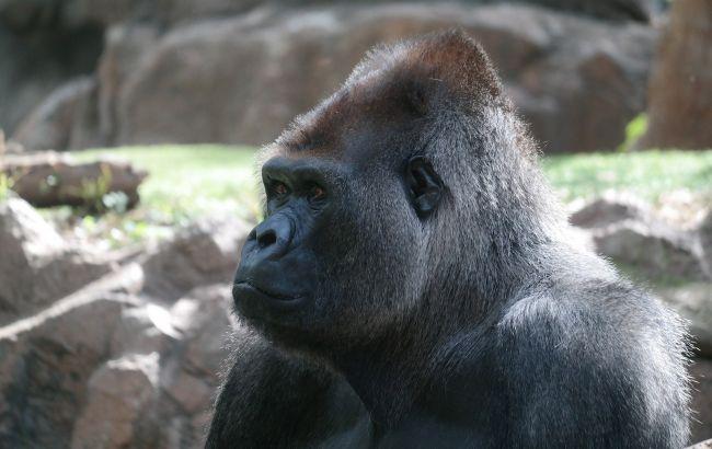 COVID-19 атакує тварин: у зоопарку Атланти захворіли горили