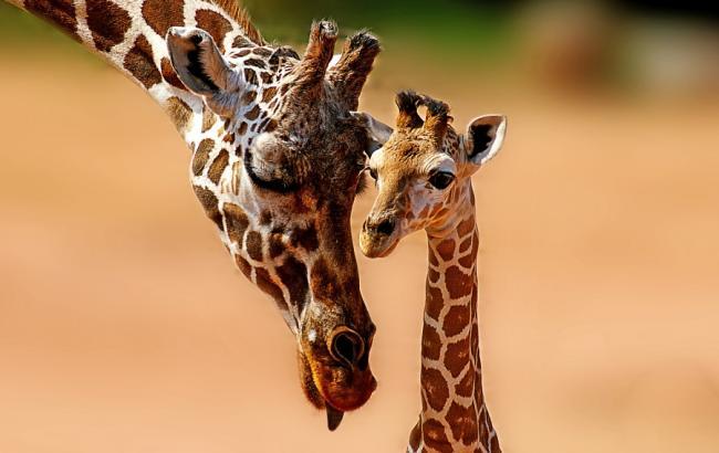 Фото: Жирафы (detechter.com)