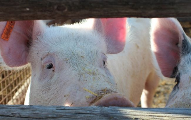Фото: временное ограничение касается животных, восприимчивых к вирусу АЧС