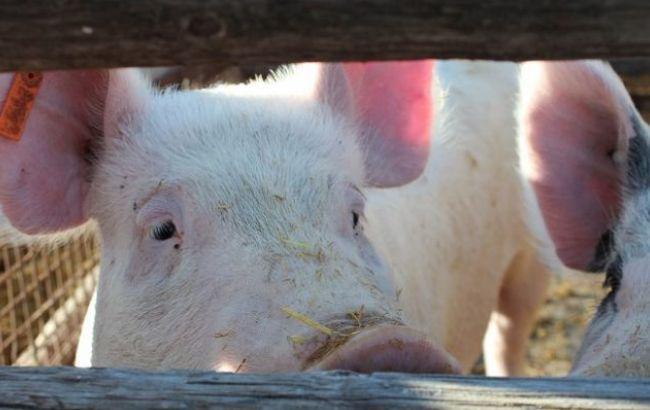 Фото: в Полтавской области от АЧС погибли две свиньи