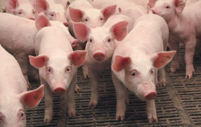 Фото: в Украине сократилось поголовье свиней