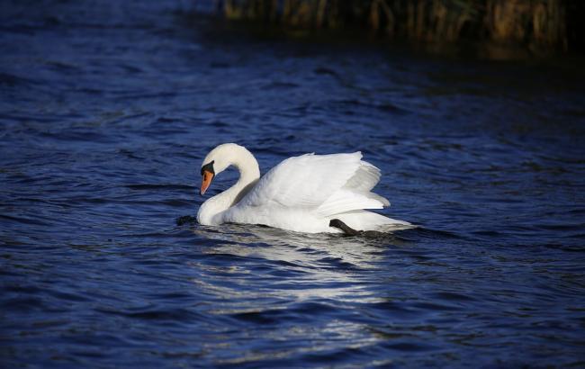 """""""Радісна новина!"""": лебеді з Межигір'я відлетіли у теплі краї"""