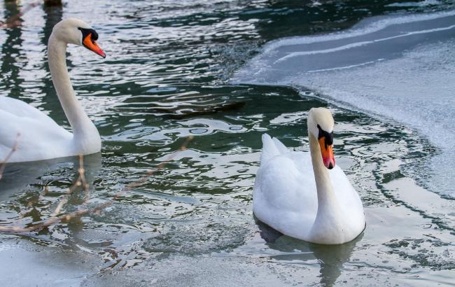 Спасти пернатых: в Тернопольской области люди помогли перезимовать лебедям