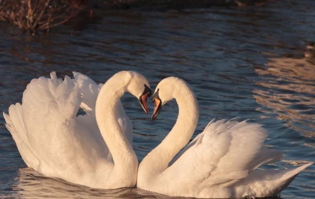 У Житомирській області пенсіонери у себе вдома прихистили пару лебедів (відео)