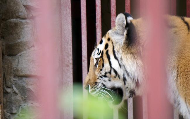 В Тбилиси охотники так и не смогли напасть на след сбежавшего тигра
