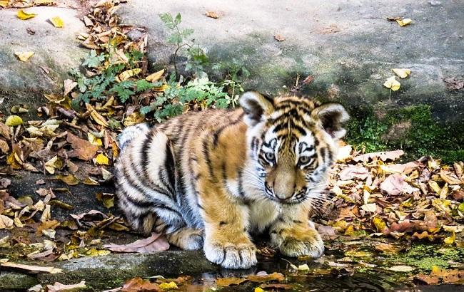 В сети возмущены жестоким обращением с тигренком в одесском биопарке (видео)