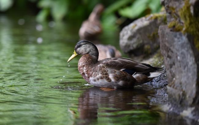 Фото: Утка (unsplash.com/Tj Holowaychuk)