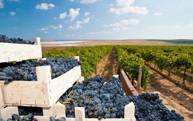 Фото: производство вина в мире сократилось