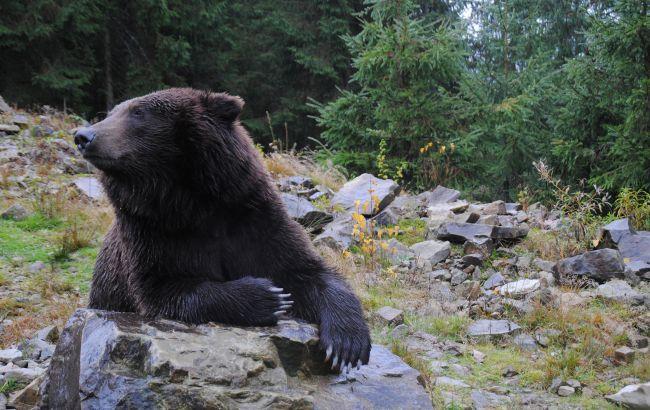 Українським ведмедям підлікували зуби та вакцинували: як це було (фото)
