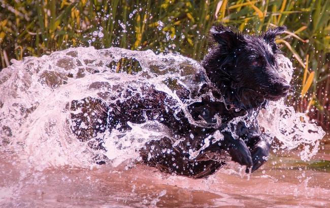 Фото: Собака у водi (pixabay.com)