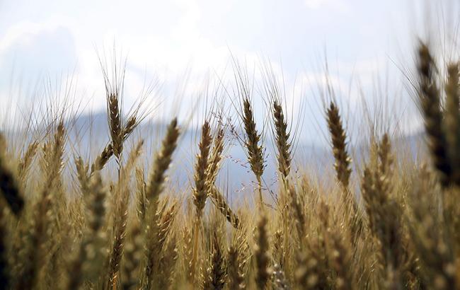 Фото: пшеница (pixabey)