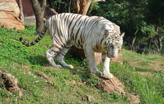 Белого тигра убили сородичи из-за халатности работника зоопарка