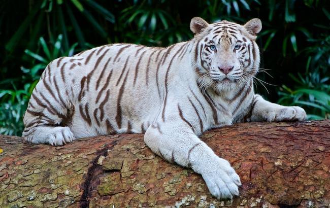 У зоопарку Бердянська з'явилися на світ білі тигренята