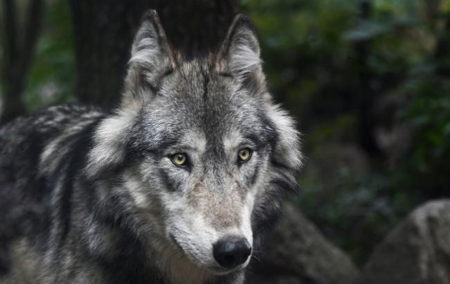 Едва руки не отгрыз: под Тернополем волк набросился на людей