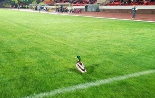 Фото: Утка на поле (vologda.kp.ru)